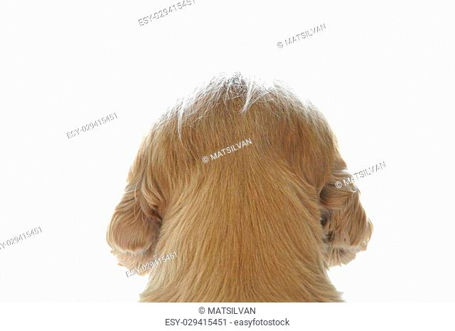 Backside of a cocker spaniel dog who is watching out with white background
