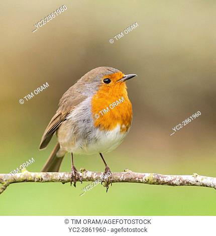 A Robin on a tree (Erithacus rubecula) in the uk