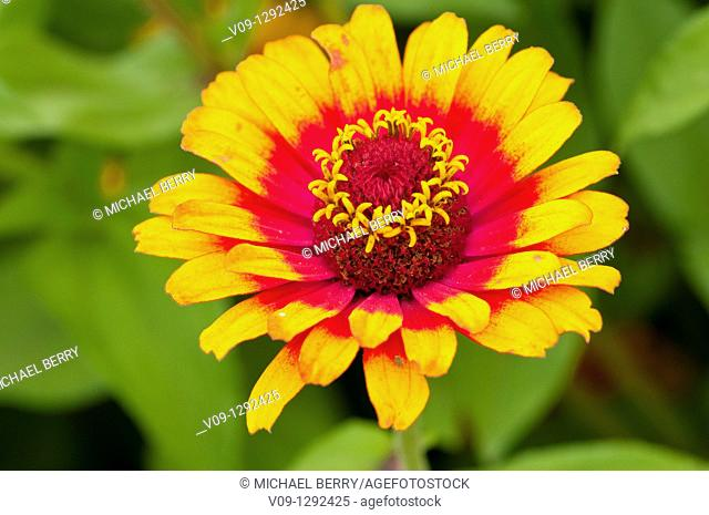 Yellow Flame (Zinnia sp.), USA