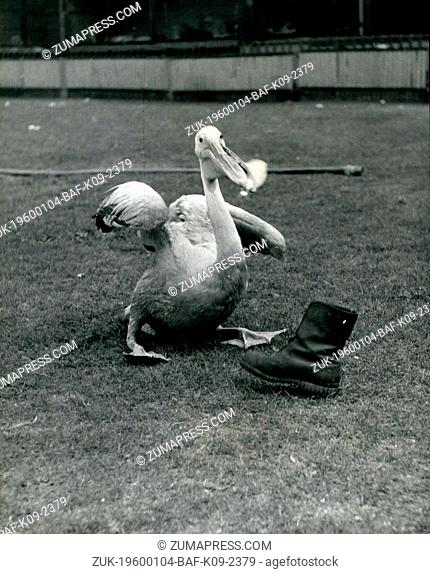 Feb. 24, 1968 - Peter Nearly Gets the Boot!: Peter is a very fine pelican who regularly performs at the great Chipper field Circus