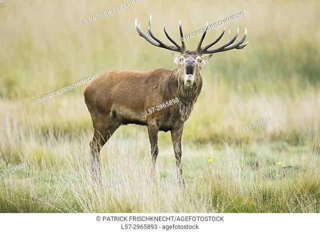 Red deer stag , Richmond park, London, England