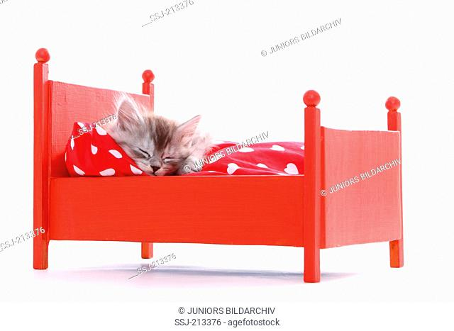 American Longhair, Maine Coon. Kitten (6 weeks old) sleeping in a red dolls bed. Studio picture against a white background. Germany