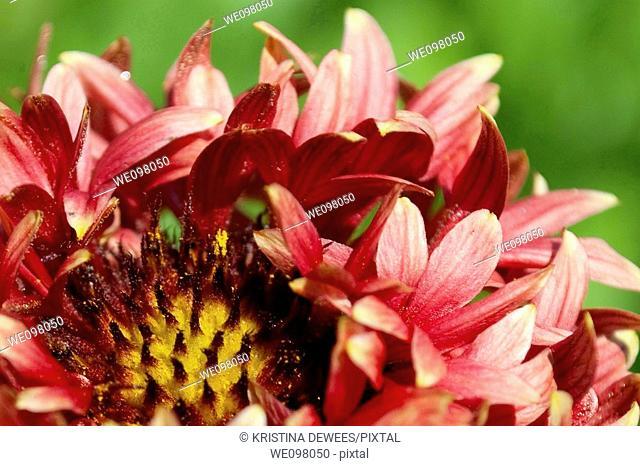 A fading fancy pink Gaillardia hybrid