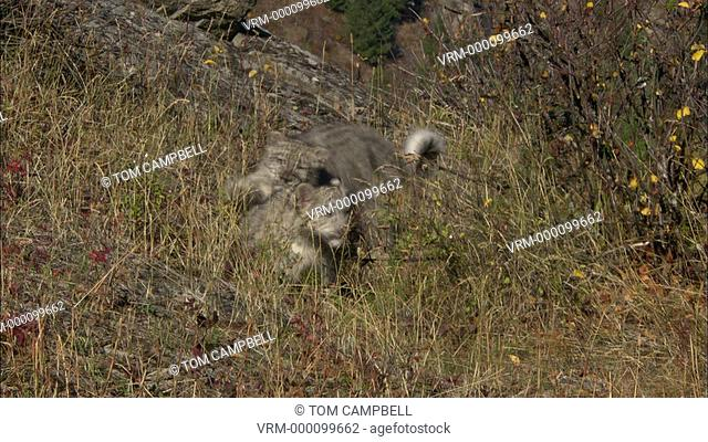 Snow leopards Uncia uncia on rocks, jump out - captive animals. Northern Montana, USA