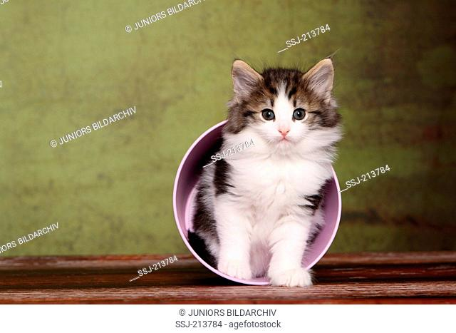 Norwegian Forest Cat. Kitten (6 weeks old) sitting in a pink pot. Studio picture against a green background. Germany