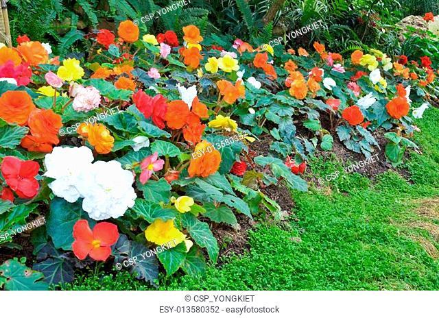 Begonia flower Garden