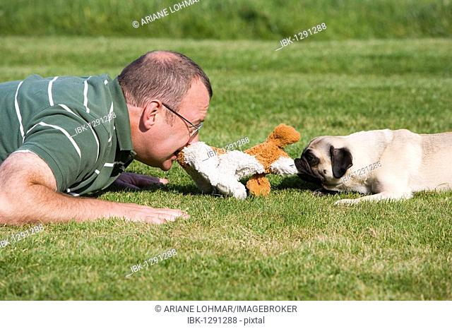 A young male pug and his keeper playing happily in a meadow with a plush toy
