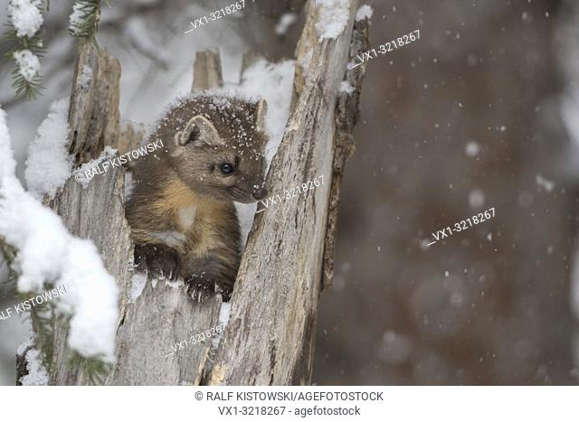 American Pine Marten / Baummarder ( Martes americana ) in winter, sitting in a tree stump during snowfall, looks cute, Montana, USA