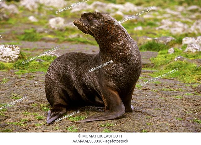 Northern Fur Seal Male (Callorhinus ursinus) St. Paul Is. - Pribilofs Alaska