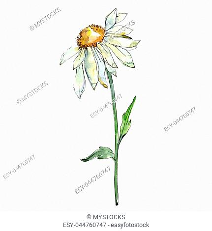 White daisy. Floral botanical flower. Wild spring leaf wildflower isolated. Aquarelle wildflower for background, texture, wrapper pattern, frame or border