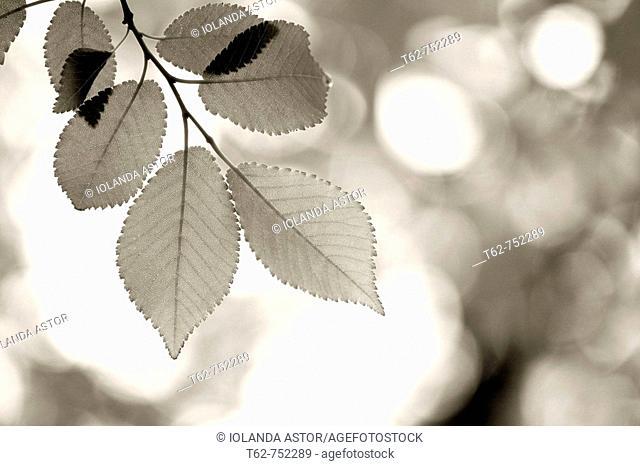 Hojas en el árbol en primavera. Contraluz. Monocromo