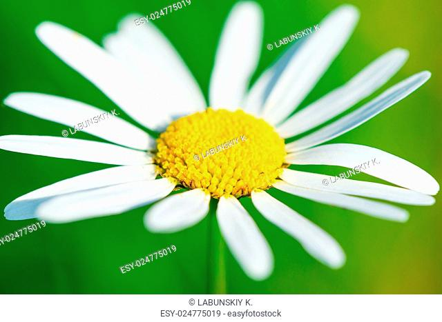 beautiful daisy removed close up on a background of grass
