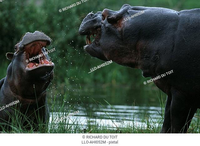 Pair of Hippopotami Hippopotamus amphibius Arguing on the Side of the River  Moremi Wildlife Reserve, Botswana