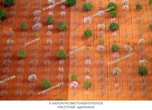 Aerial view of a fields, with almond trees in bloom, Mallorca field, Balearic Islands, Spain