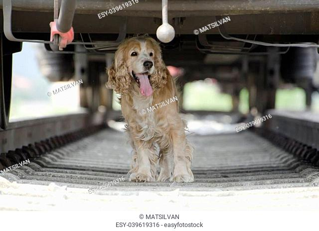 Blonde cocker spaniel dog standing under a train wagon
