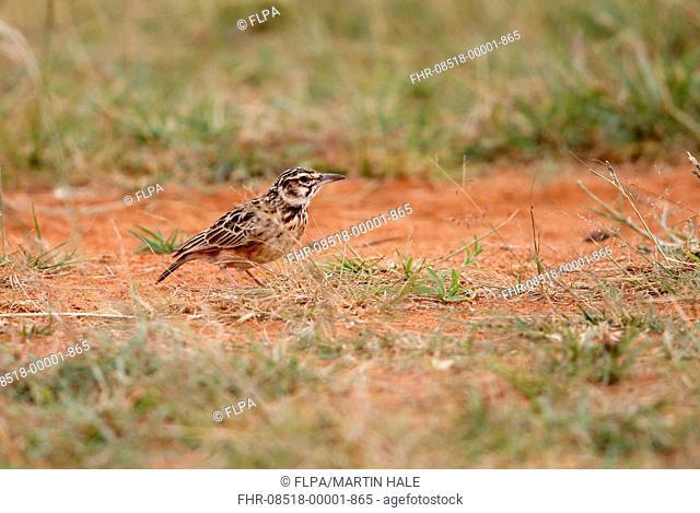 Short-tailed Lark (Pseudalaemon fremantlii) adult, standing in grassland, Yabello, Borana Zone, Oromia Region, Ethiopia, November