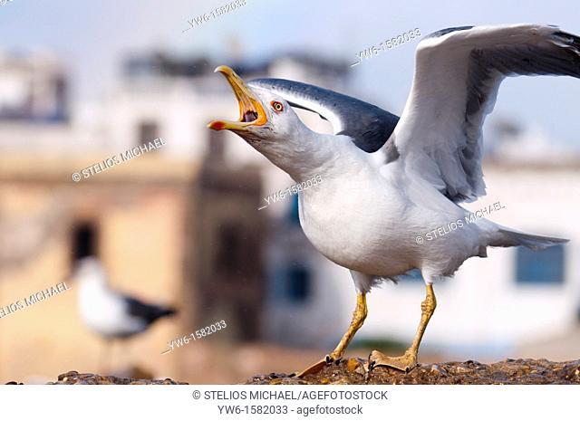Seagull calling, Essouira,Morocco