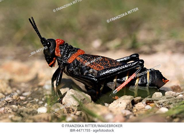 Gaudy grasshopper (Phymateus), South Africa