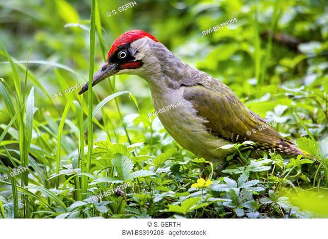 green woodpecker (Picus viridis), on the feed, Switzerland, Sankt Gallen