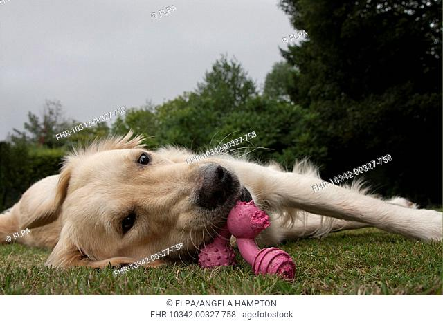 Domestic Dog, Golden Retriever, adult female, chewing toy, laying on garden lawn, England, august