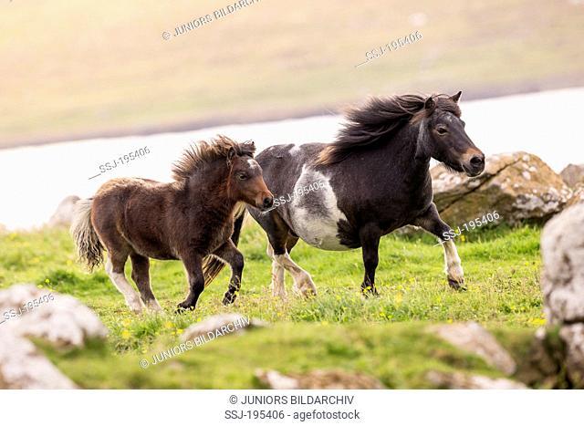 Miniature Shetland Pony Pinto mare with foal trotting on a meadow Shetlands, Unst