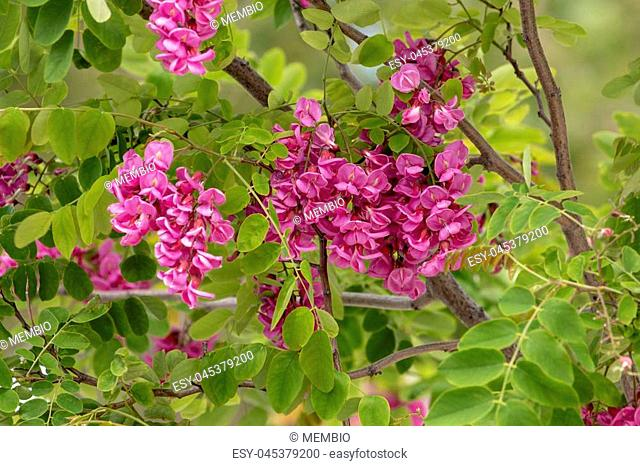View of the blooming Robinia Purple Robe tree in the Spring