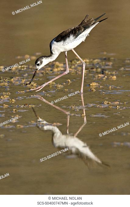 Adult black-necked stilt Himantopus mexicanus wading and feeding in a brackish water lagoon at Punta Cormorant on Floreana Island, Galapagos