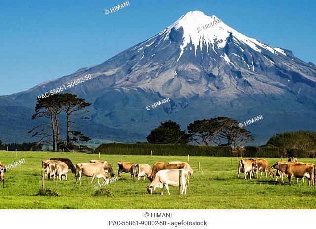 New Zealand, North Island, Taranaki, Dairy cows in green grassy paddock of dairy farm, Mount Egmont in the background