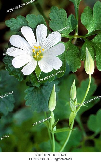 Greater stitchwort flower Stellaria holostea, Europe