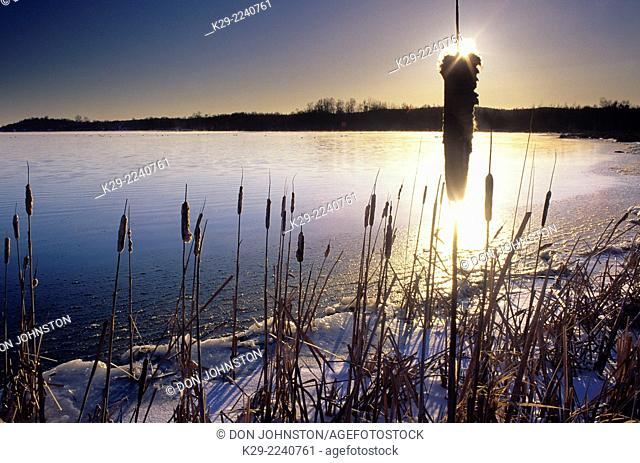 Cattails at sunsrise on Kelly Lake in late winter, Greater Sudbury, Ontario, Canada
