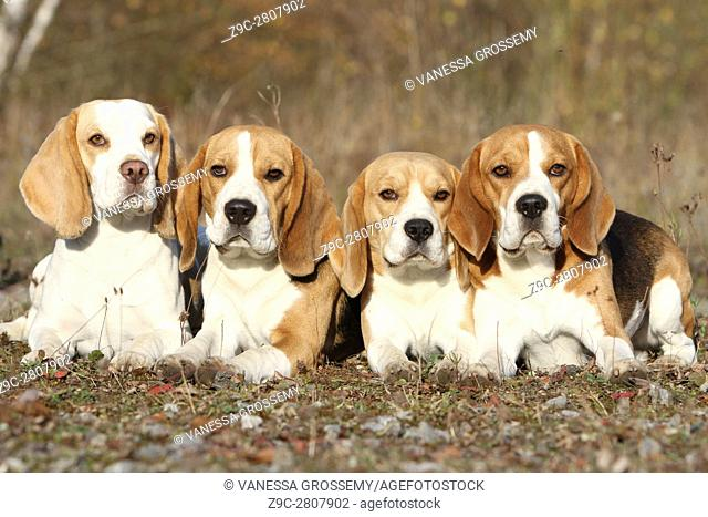 Four Beagle dog lying in a wood