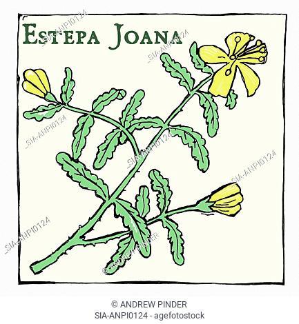 Estepa Joana (Hypericum balearicum), plant with yellow flowers