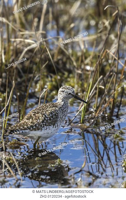 Wood sandpiper, Tringa glareola, walking in a moss looking for food, Gällivare county, Swedish Lapland, Sweden