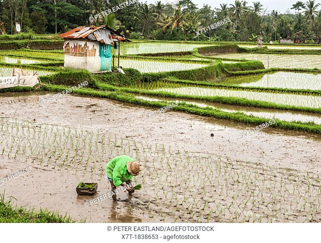 Farmer planting rice in the rice fields surrounding Ubud, central Bali, Indonesia