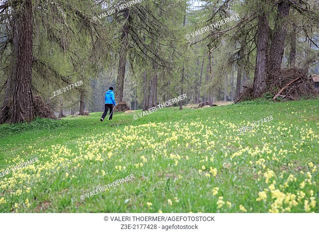 Woman hiking in the forest at Val Campo di Dentro near Innichen in South Tirol, Italy
