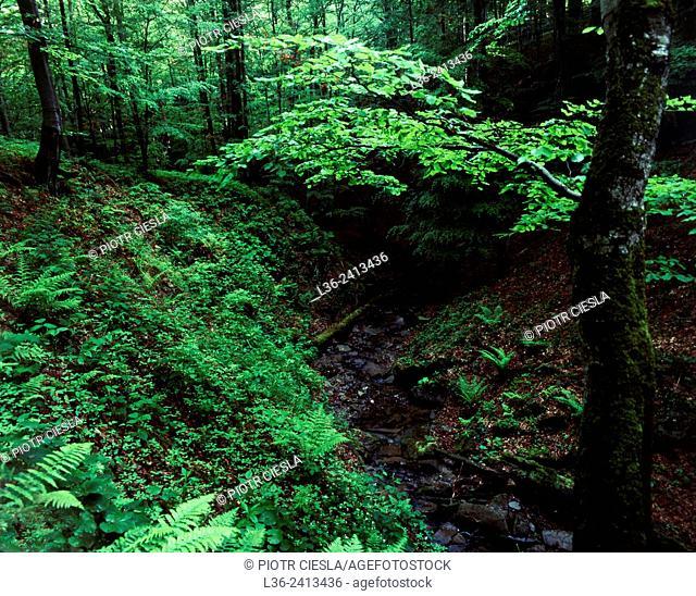 Bieszczady National Park. Old forest. Poland