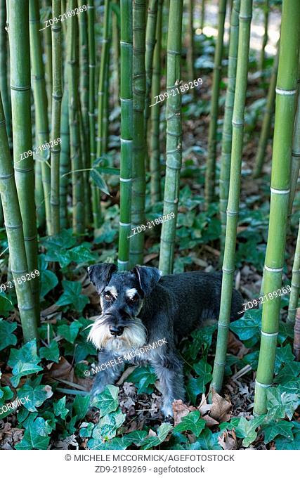 a Miniature schnauzer explores a small stand of bamboo
