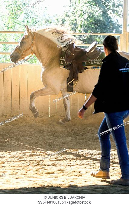 Woman schooling Norwegian Fjord Horse wearing a Western saddle in a round pen. Germany