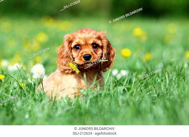 Cavalier King Charles Spaniel. Puppy (9 weeks old) sitting on a meadow, with a Dandelion flower in its mouth. Germany