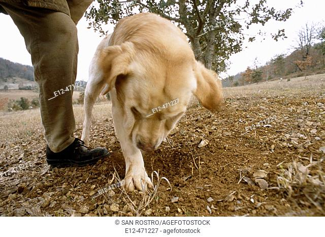 Training dog for truffle harvest. Pierre Souzat, scientist of 'truffle station' of Cahors Le Montat. Quercy. Lot. France