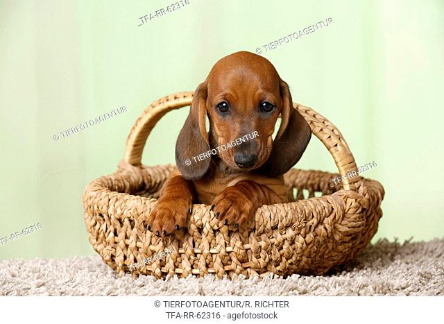 shorthaired Dachshund Puppy