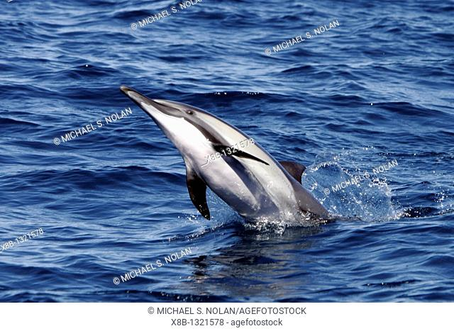 Adult Long-beaked Common Dolphin Delphinus capensis in the southern Gulf of California Sea of Cortez, Mexico