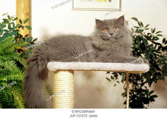 blue Persian cat - lying on scratching post