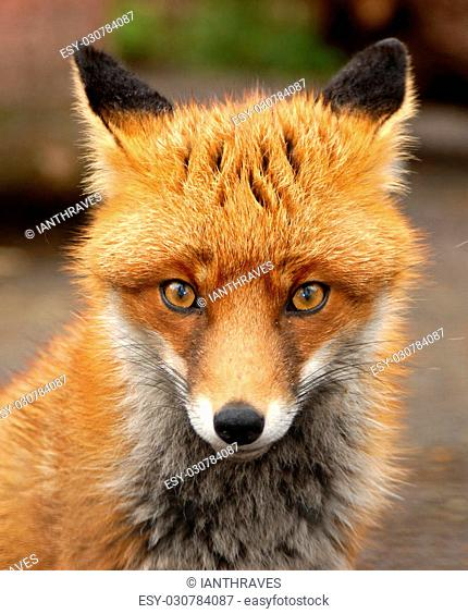 Red Fox portrait photographed in the UK