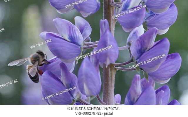 A honey bee forager gathers pollen from lupine blossoms. Noraström, Västernorrlands Län, Sweden