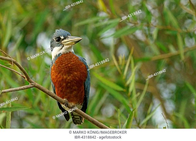 Ringed Kingfisher (Megaceryle torquata) sitting on branch, Pantanal, Mato Grosso, Brazil
