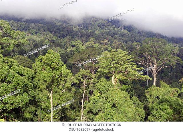 View from observation tower near the Maliau Basin Study Centre at dawn  primary, undisturbed forest retains a much more even canopy broken only by a few giant...