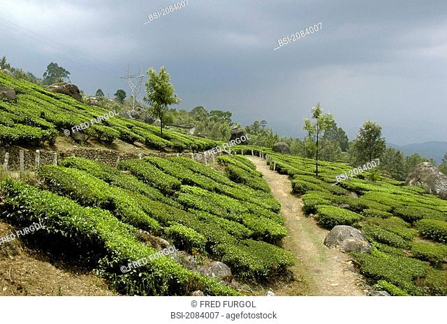 TEA CULTURE Plantation of tea. Exploitation of the Asian economic giant TATA, picture taken near the city Munnar in the state of Kerala in India