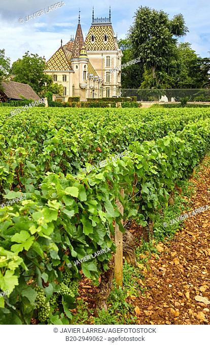 Pinot noir vineyards, Chateau Pierre Andre Corton, Aloxe-Corton, Côte de Beaune, Côte d'Or, Burgundy Region, Bourgogne, France, Europe