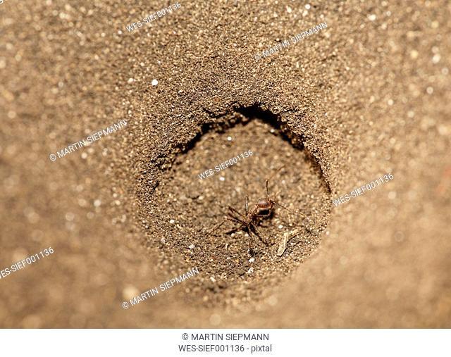 Costa Rica, Guanacaste, Palo Verde, Ant in funnel trap of antlion